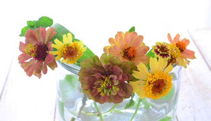 剪定したジニアは生けて楽しみましょう。最近は切り花のジニアも品種が豊富に流通しています。