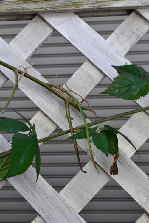 枝は多少折れてしまったりしても気にしなくて大丈夫です。また、折れたところから分枝して生長します。こちらも夏場に折れてしまった枝が分枝した状態です。全部伸ばすと枝が多すぎるので、もう少し伸びてから、いい枝を残して残りは剪定しようと思います。