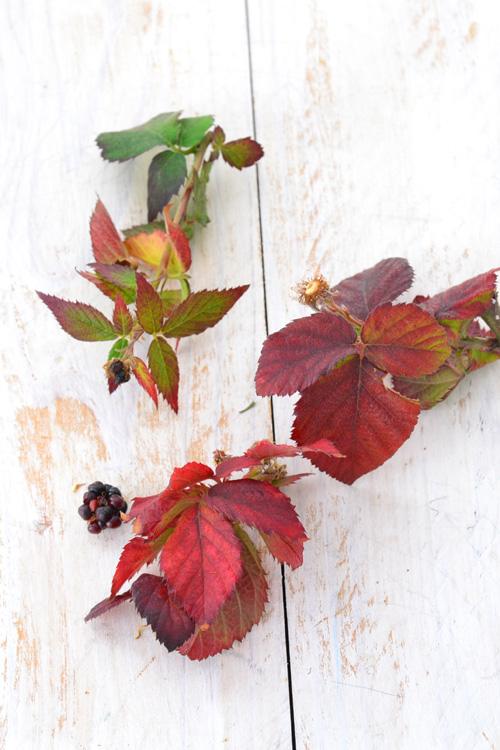ブラックベリーは紅葉もきれいです。落葉性ですが、東京の寒さだと葉をつけたまま越冬することもあります。