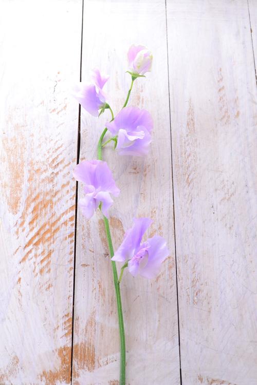 切り花のスイートピーのほとんどは、葉っぱはなく、茎だけで出荷されてきます。 1本の花に茎に間隔をあけて複数の花がついています。