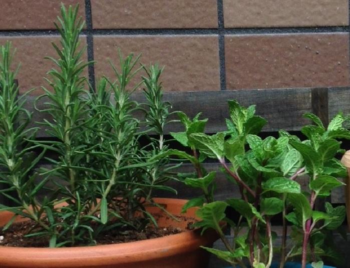 日当たりがよく、水はけのよい場所で 鉢で育てる場合は、日当たりがよく、土が乾燥しやすい場所へ置きましょう。明るい日陰でも育ちますが、日当たりのよいところに置くほうが元気な株に育ちます。湿気に弱いので梅雨の長雨で土が湿ったままだと根腐れを起こすことがあるので注意が必要です。雨の日が続きそうな場合は屋根の下で雨が当たらないところに置きましょう。また、風通しのよい場所を好みます。枝が込み合っている場合は、そのままにしておくと株が蒸れてしまい、病害虫が発生しやすい環境になりますので、剪定を兼ねて収穫しましょう。剪定した枝は、料理にも使ったり、リースやスワッグなどのクラフトに使えて便利です。