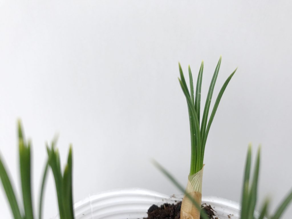 """クロッカスには、春咲きと秋咲きの2種類あるので、種類によって出回り時期が異なります。  春咲きのクロッカスは、秋植えの球根として秋から冬にかけて出回ります。球根の植え付け時期でもあるので、球根の状態で並ぶのが秋口から年末にかけて。芽が出た球根の苗であれば1月~2月頃に園芸店に並んでいると思います。秋咲きのクロッカスは、夏植えの球根として夏季に出回ります。  ▼春咲きの球根についてはこちら  <div class=""""posttype-post shortcode""""><div id=""""posts"""" class=""""default-posts""""><article><a href=""""https://lovegreen.net/gardening/p118592/"""" class=""""clickable""""></a>     <div class=""""thumbnail"""" style=""""background-image:url(https://lovegreen.net/wp-content/uploads/2017/09/20170091722.jpg);"""">         <a href=""""https://lovegreen.net/gardening/p118592/""""></a>   </div>   <div class=""""top-post-ttl-extext"""">     <h2><a href=""""https://lovegreen.net/gardening/p118592/"""">もう準備しましたか?秋植え球根おすすめ8選!</a></h2>     <p><a href=""""https://lovegreen.net/gardening/p118592/"""">10月~12月は春に咲く球根花の植え付けシーズンです。夏頃から園芸店や通信販売で、色々な秋植え球根が販売され…</a></p>     <p class=""""top-post-name"""">金子三保子</p>     <time class=""""top-post-date"""" datetime=""""2018-08-20"""">2018.08.20</time>     <span class=""""post-cat""""><a href=""""https://lovegreen.net/gardening/"""">庭・ガーデニング</a></span>  </div> </article></div></div>"""
