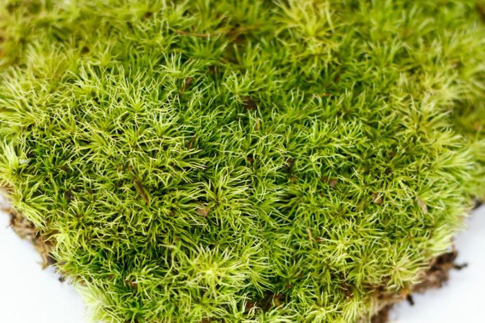 ホソバオキナゴケ 丈夫なこともあり、初心者におすすめの苔。盆栽用に「山苔」という名前で流通しています。成長が遅いため小さい容器でも長く楽しめます。