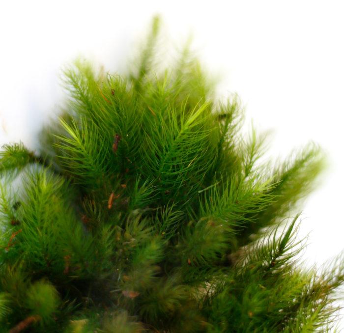 ヒノキゴケ 背が高いタイプの苔。湿気を好むためテラリウムに向いています。日陰や暗い場所でも窓があれば育ちます。成長が早いため変化も楽しめます。