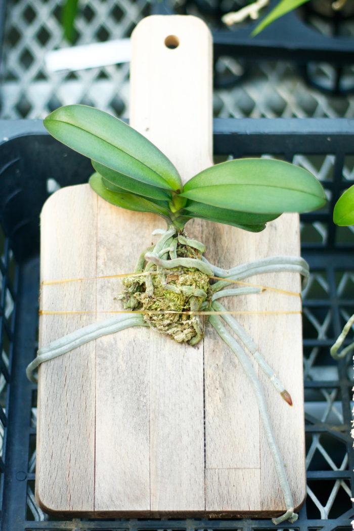 木のまな板に水苔を使って着生させたもの。