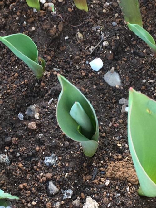 チューリップの葉は、決まった所から出てくる性質があるので、球根の向きを揃えると見た目的にきれいに葉っぱが揃います。また、鉢植えに密植して球根を植えると、球根の向きがバラバラだと、葉っぱがぶつかりあって生育的にも問題が出たり、風通しが悪くなったりします。
