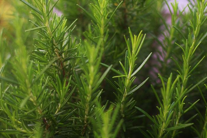 ローズマリー(木立性) 科名:シソ科マンネンロウ属  分類:常緑高木  学名:Rosmarinus officinalis  英名:Rosemary  和名:マンネンロウ  ローズマリーはハーブとして有名な常緑低木です。大きく分けて木立性とほふく性の2種があり、生垣に向いているのは木立性です。大きくなると1m以上にもなりますので、生垣として利用できます。夕飯の時間になったら生垣からローズマリーを摘んで料理に使うのも楽しみになります。気候が良ければ四季咲きでブルーから薄紫色の花を咲かせてくれます。