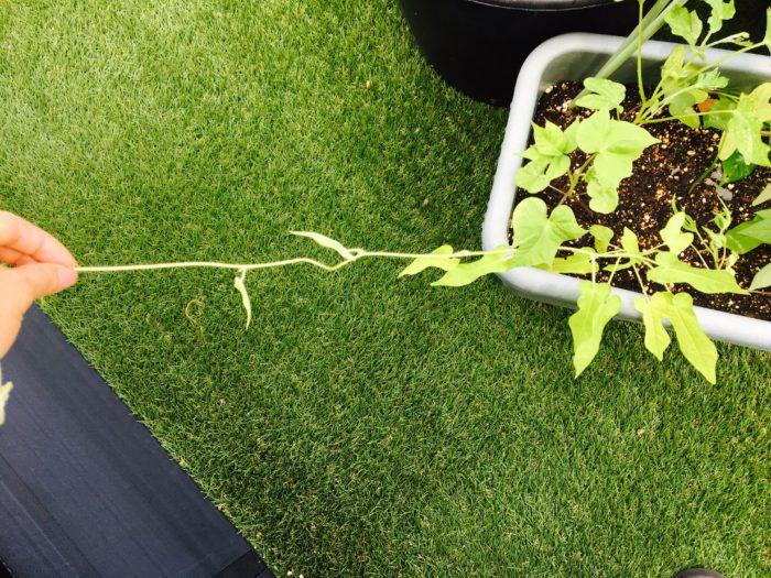 1.本葉が10枚ほどになったら、新芽をハサミか爪で切り取ります。  2. その下から出てくるわき芽を3本ほど伸ばしましょう。  3. アサガオは生長したわき芽から、さらにわき芽が出てきます。摘芯することで花がたくさんつきますが、早い時期に花をつけすぎるとつるの伸びが悪くなります。ある程度つるの生長度合いを見ながら、わき芽の摘芯をしてあげましょう。