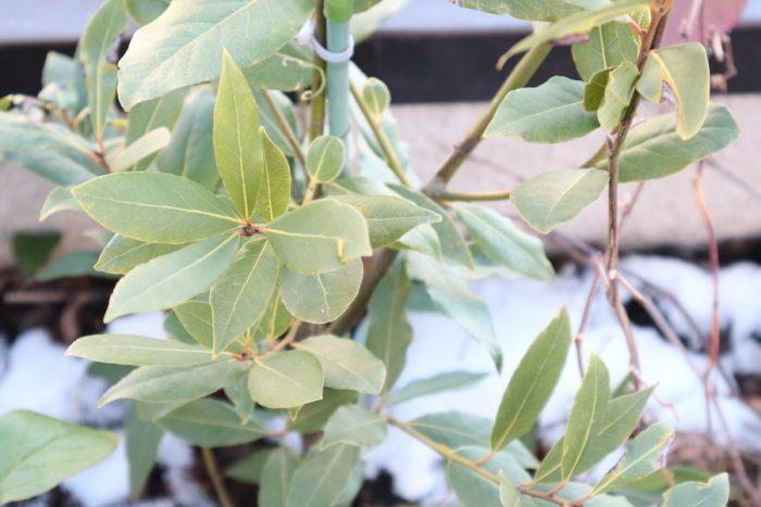 月桂樹は耐寒性は-8℃くらいまでなら耐えられます。