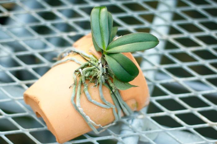 胡蝶蘭(コチョウラン)の花が終わった後は着生したり、好きな鉢に植えて飾ったり。着生は春~秋がベストな時期。野性味あふれる姿も魅力的です。  植木鉢にランを着生させる事ができます。割れてしまった鉢を再利用。