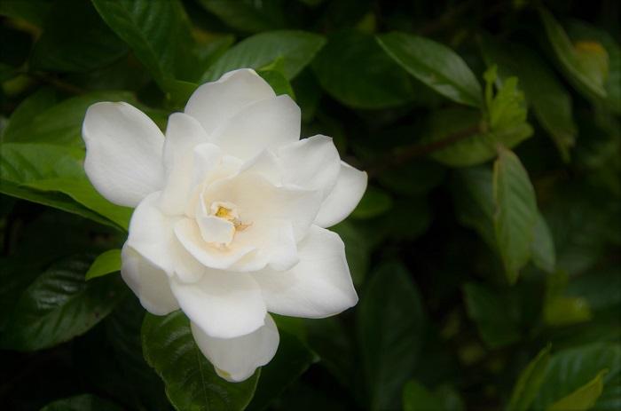 クチナシ 科名:アカネ科クチナシ属  分類:常緑低木  学名:  Gardenia jasminoides  英名:Gardenia  初夏に香りの良い花を咲かせる常緑低木です。大きくなっても2~3m程度なので目隠しとして利用できます。花は咲き始めは白でクリーム色に変化していきます。葉はツヤのある濃い緑です。八重咲種やコクチナシやヒメクチナシと呼ばれる矮性種もあります。