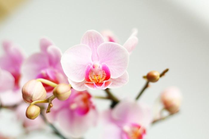 「幸福が飛んでくる」を意味する花言葉を持つため、お祝い事の贈り物としてよく用いられる胡蝶蘭(コチョウラン)。  ラン科ファレノプシス属の植物で、原産地は東南アジアです。4~5月頃に花を咲かせますが、現在では温室での栽培技術により一年中花を咲かせることができます。現状約数万種以上の品種があり、大輪系、中輪系、小輪系など形も様々あります。