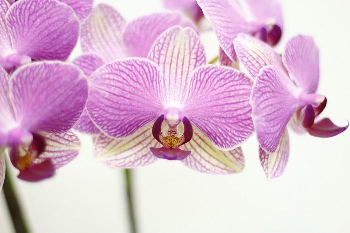 パレルモ 最長開花8ヶ月というパレルモは、花の色が緑色に変化する面白い特徴があります。