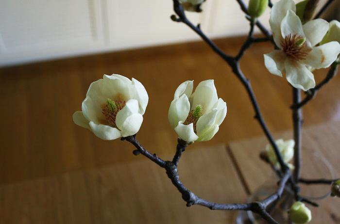 まだまだ寒い冬が続きますが、季節の枝もの白木蓮(ハクモクレン)を生けて、お部屋で春を待つのも楽しいです。開花時期は3月頃からなので、外で白木蓮(ハクモクレン)の花を見たら、春はすぐそこです。ぜひ季節の時間を感じてみてはいかがでしょうか。