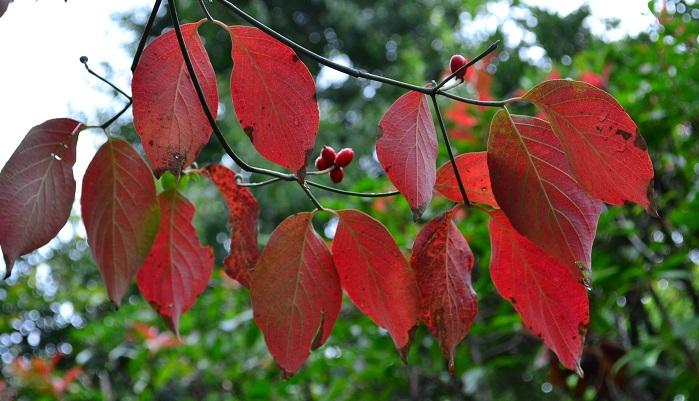 分類:落葉高木 結実期:9月~11月 春に白やピンクの花を咲かせ、秋に赤く色付いた実を付けるハナミズキは、ミズキ科の落葉高木です。秋にはどんぐりのような形状の赤い実を枝の先に数個実らせます。ハナミズキは、春の花、夏の新緑、秋の紅葉と果実と四季を通して楽しめる魅力的な庭木です。