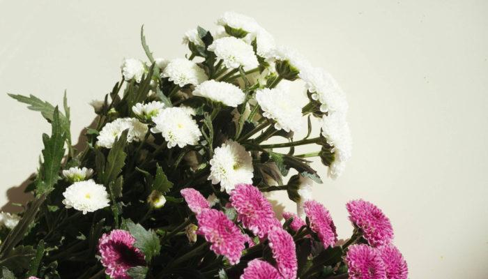 インヤンと同じく小輪のスプレーマムの一種カリメロ。ポンポンタイプでまんまるでモコモコした感じのお花です。
