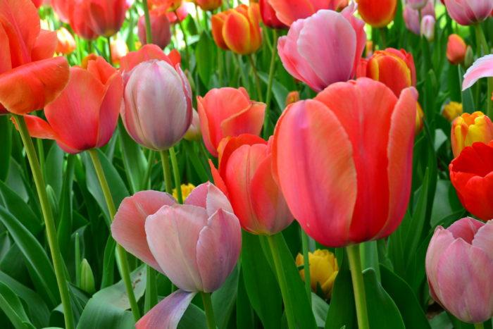 1品種のチューリップを鉢植えに植え付ける時は、それほど丈を気にしなくてもよいですが、花壇などの庭にチューリップを植える場合は、それぞれの花丈を知った上で、他の草花の花丈とのバランスがよい場所に植え付けると、バランスの良い植栽になります。
