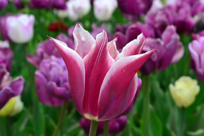 ユリのような咲き方のチューリップ