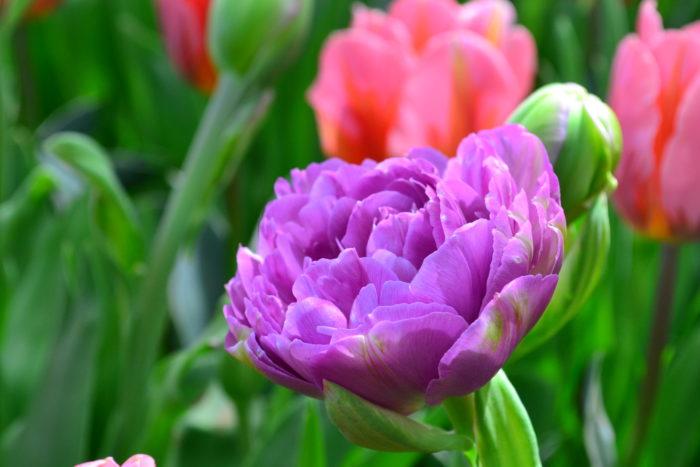 花びらの枚数が多い八重咲種のチューリップ。開くと豪華な雰囲気です。