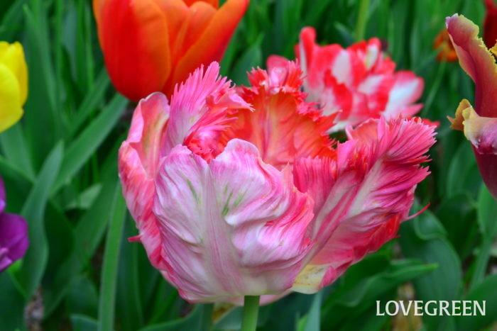 花びらのフチが切れ込んでフリル状になったユニークな咲き方のチューリップ
