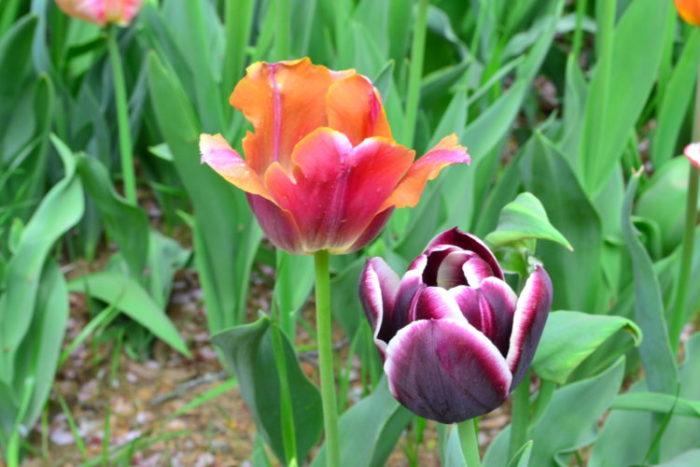 チューリップの花丈に関しても、同じチューリップでも品種によって様々です。  丈の短いチューリップは20~30cmくらいで、切り花よりは花壇に植えるのに適している品種、一般的な丈のチューリップは40~50cmで、切り花にも向く品種、丈があるチューリップは50~60cm~で晩生種の品種に多い丈です。