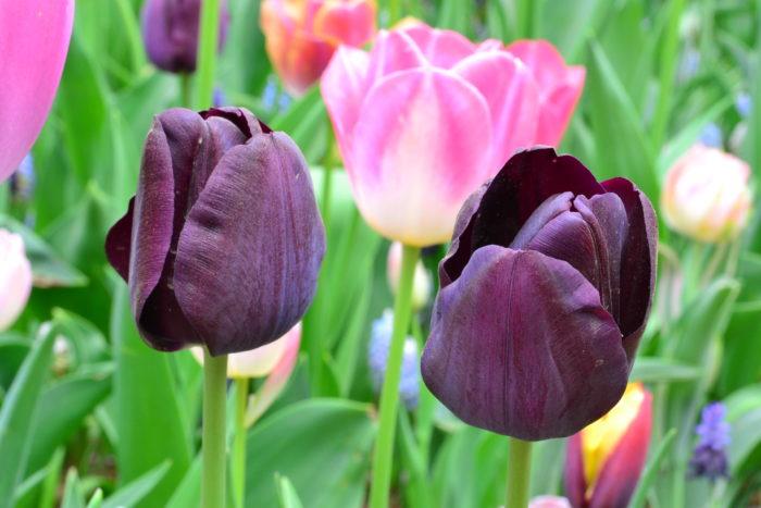 チューリップをはじめとした球根類の流通は、長い期間販売される花やグリーンの苗ものに比べて、季節限定の売り切り商品です。チューリップをはじめとした球根類は、お店の規模にもよりますが売り切れたら再入荷の可能性が少ない商品です。人気の品種のチューリップの球根から売り切れていくので、球根は早めに買うことをおすすめします。