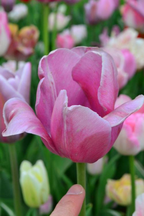 チューリップの花の咲き終わりは、花びらが開きっぱなしになり、花びらが薄くしわしわになります。  花が咲き終わったら球根に栄養を行き渡らせるために花殻を摘みとりましょう。摘み取る範囲は花茎の上部のみ。花茎と葉は光合成に必要なので剪定する必要はありません。