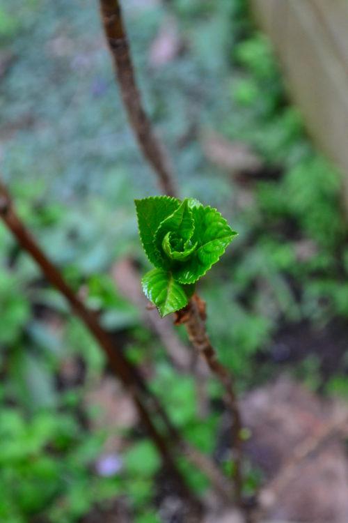 冬場は枯れ木のような状態だったアジサイの枝が割れるようにして新しい芽が出ます。