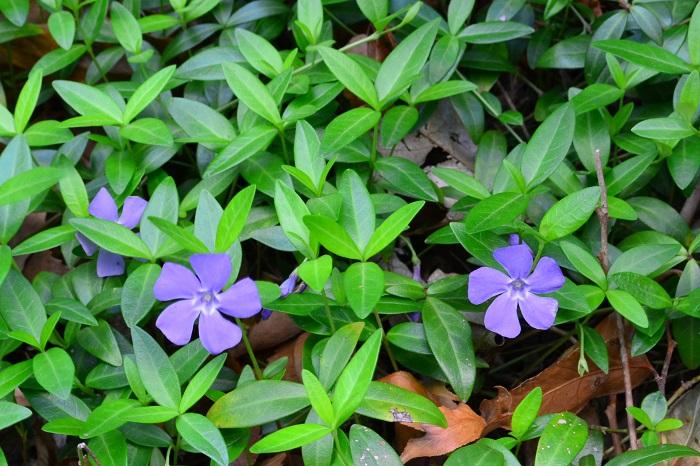 ヒメツルニチニチソウ  ツルニチニチソウより花や葉のサイズが小さめです。葉は緑のもの、斑入りのものなど種類がいくつかあり、花の色も淡い紫色の他、濃い紫色、白などツルニチニチソウより花色が豊富です。  耐寒性がツルニチニチソウよりヒメツルニチニチソウの方が若干優れます。