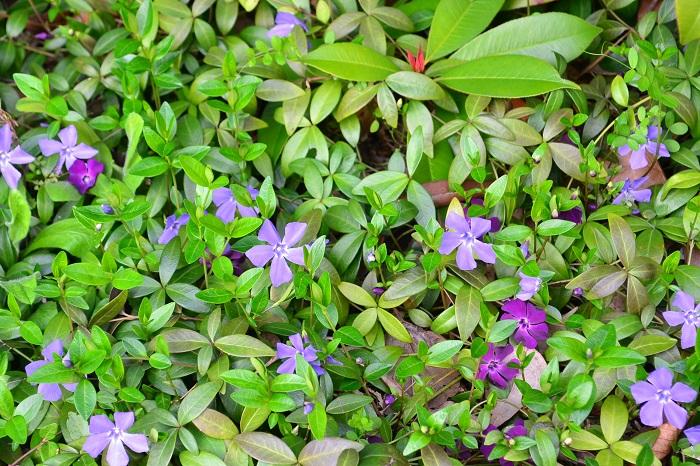ツルニチニチソウの花は3月~5月頃に開花します。地植えで群生しているツルニチニチソウの開花している光景は、とても美しい光景です