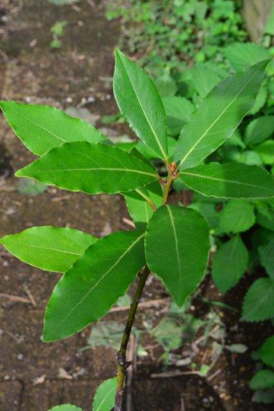 月桂樹(ローリエ)は、苗での購入が一般的です。一番小さいサイズだと、3号サイズ(9cm)のポット苗として販売されています。  月桂樹(ローリエ)は、木によって雄株と雌株が存在する植物ですが、流通しているのは雄株がほとんどです。ただ、園芸店で雄花、雌花として区別して販売されることは、ほぼないです。  このような雄株、雌株が存在する植物として、月桂樹(ローリエ)の他に、イチョウなども雄株、雌株がある植物です。