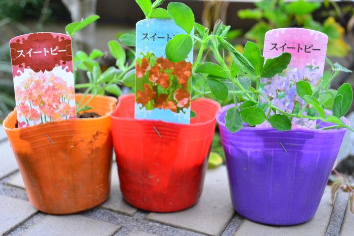 スイートピーは年明けごろから苗としても流通が始まります。スイートピーは植え付けてしまえば、あとはツルを誘因させさえすれば、育て方は簡単です。スイートピーはベランダでも育てることができるので、ひと苗育ててみませんか?