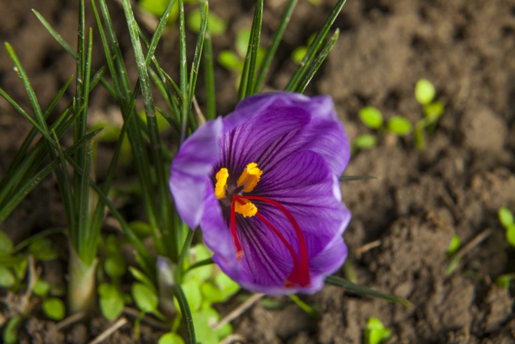 パエリアなどの料理に使われる香辛料として有名なサフラン。クロッカスとそっくりな花を咲かせます。  サフランは、クロッカスの一種なのですが咲く季節や花のめしべが異なります。秋咲きのクロッカスをサフランと呼び、春咲きのものをクロッカスと呼ばれています。サフランの花は、だらんと出た長い赤いめしべが特徴的です。