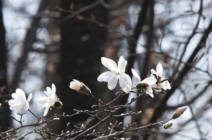 白木蓮(ハクモクレン)によく似た花を咲かせるコブシ 白木蓮(ハクモクレン)にそっくりなコブシ。漢字では辛夷と書きます。白木蓮(ハクモクレン)もコブシも、同じモクレン科の樹木。