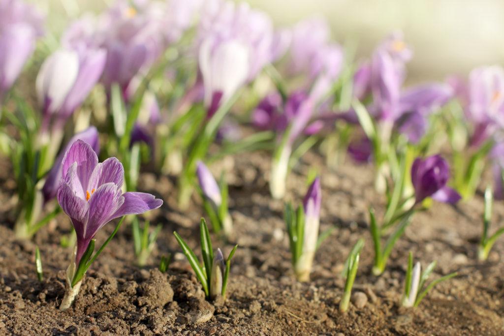 """置き場所 日当たりがいいところ、水はけのいい場所。  水やり クロッカスの土の表面が乾いていたら水をたっぷりあげましょう。  土の表面が湿っている場合は、球根腐れの原因になるので水やりは控えます。  肥料 クロッカスの花が終わった後に肥料を与えます。  カリ成分が入った液肥や固形肥料などの追肥を1~2回位行います。この追肥は葉が枯れるまでの間に行うのがポイント。  病害虫 球根や葉全体がかかる病気は、ウイルス病とモザイク病。  球根の葉がかかる病は、軟腐病、乾腐病、球茎硬化病。  茎の付け根が腐る首腐病、球根の病気は青カビ病があります。  風通しの悪い場所や長い間、球根が濡れた状態が続くと病害虫発生の原因となりますので気をつけましょう。  ▼詳しいクロッカスの育て方はこちら  <div class=""""posttype-library shortcode""""><div id=""""postMain"""" class=""""full""""><article class=""""library-list-tax""""><a href=""""https://lovegreen.net/library/bulb/p106172/"""" class=""""clickable""""></a>    <div class=""""library-list-ttl clearfix"""">    <h2 class=""""library-list-ttl-text""""><span class=""""library-list-ttl-text-inner"""">クロッカス</span></h2>     <div class=""""library-list-types"""">     <a href=""""/library/type/bulb"""" class=""""library-list-type <?php echo $slug; ?>"""">球根</a>    </div>  </div>   <div class=""""thumbnail"""" style=""""background:url(https://lovegreen.net/wp-content/uploads/2017/07/46af5abd722fedfb43f547d24635caa2-300x200.jpg) no-repeat center/cover;""""></div>   <div class=""""top-post-ttl-extext"""">           <ul class=""""library-list-list"""">           <li class=""""library-list-item""""><p>クロッカスの見た目の特徴は、葉が細長く縦に伸び、その葉に白い溝があり、その細長い葉の間から蕾が出てきて花を咲かせることです。また、小さな球根ですが6枚の花びらを持った大きな花を咲かせます。クロッカスを注意深く観察するとわかりますが、春の暖かな晴天の日は、綺麗な花を咲かせますが、気温が下がると花は閉じてしまいます。クロッカスの花は種類も豊富で約80種類以上あると言われています。花の色も黄色、紫、白、赤紫、薄紫や縦の筋や網目状の模様が入っているものもあります。 クロッカスの大きな特徴は、一見茎が無いように思われますが、球根の部分が茎である球茎であり、春咲きと秋咲きの2種類あることです。</p> </li>       </ul>       </div> </article></div></div>"""