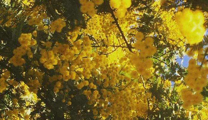 ミモザが属するマメ科アカシア属の植物を総称してアカシアと呼びます。アカシアより先、明治時代に輸入されたハリエンジュのことをアカシアと呼んでいましたが、そのあと本来のアカシアかの植物が入ってきたため、区別するためにハリエンジュのことは「ニセアカシア」と呼ぶようになりました。蜂蜜でよくみかける「アカシア蜂蜜」は、ハリエンジュの蜂蜜で作られています。ミモザはフランスから入ってきたアカシアのことをイギリスでそう呼んだもので、日本で植物名として通っているのはギンヨウアカシアやフサアカシアなどの名称です。2月~3月ごろに黄色いポンポンのような花をつけます。イタリアでは3月8日の国際女性デーに合わせて、女性にミモザを贈る習慣があります。日本では年末からミモザの切り花を扱っている生花店もあり、ミモザの人気がうかがえます。黄色いほわほわした花は春を予感させ、心もほわほわしますよね。