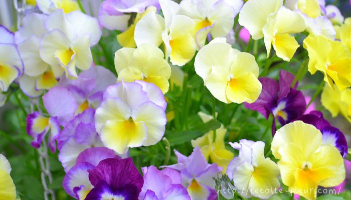 冬場は生長がゆっくりなことがおわかりいただけましたでしょうか。寒い時期は、花が少なくてさみしい反面、ひとつひとつの花が長持ちする時期でもあります。  この時期を大切に育てて、元気な苗で春にたくさんの花が咲く株に育ててくださいね。