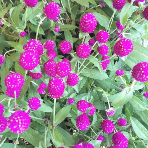 千日紅(せんにちこう)は、日当たりがよく風通しの良い環境でよく育ちます。花を摘んでも次から次へとわき芽が出て花数がグングン増えるので、生花をお部屋に飾ったり、ドライフラワーにしたり、お友達にブーケを作ってプレゼントしたりと毎日の暮らしの楽しみが広がりますので、ご自宅で育ててみてはいかがですか。