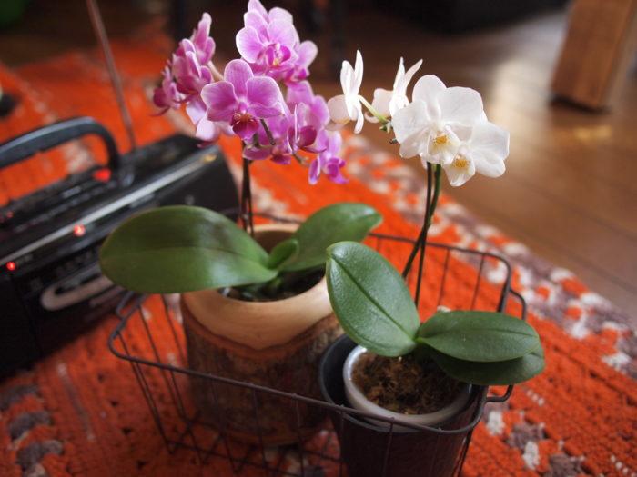 初心者にもおすすめ! ミディーコチョウラン 花の大きさが約4~8cm程とコンパクトな姿なので、場所も取らずに楽しむことができます。特徴は花数も多く、枝咲性になりやすいことと、花持ちが良く、通常2~3ヶ月ほど咲き続けます。花のカラーバリエーションも多いのでお部屋のスタイルに合わせて選んで楽しむことができます。管理も水やりは1週間に1回程度でよく、初めて胡蝶蘭(コチョウラン)を育てる方におすすめです。