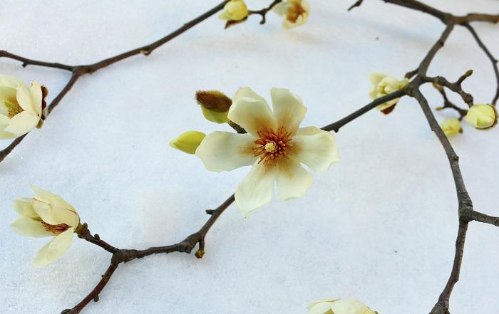 白木蓮(ハクモクレン)とコブシの違いは? どこをみて見分けると分かりやすいのでしょうか。花びらの枚数や形、咲き方などで見分けます。また花の大きさも少し白木蓮(ハクモクレン)の方が大きいです。開花時期も白木蓮(ハクモクレン)の方が少し早く咲きます。そのほか見分けるポイントをまとめました。  白木蓮(ハクモクレン) 自生地:中国 花びらの枚数:9枚(がくを含める) 花びらの形:肉厚な花びら 花の向き:上向き  コブシ 自生地;日本 花びらの枚数:6枚 花びらの形:薄い花びら 花の向き:上向きや横向き、斜めなど様々
