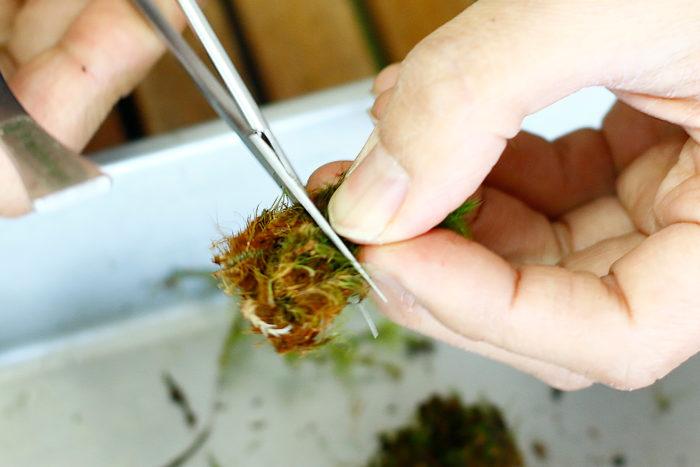 ④苔下部にゴミがある場合は切って取り除く。