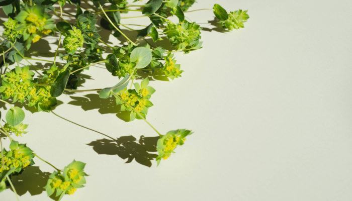 明るい緑色で、萼(がく)が星の形で、黄色の小さなお花が可憐に咲きます。細い茎をと囲むような丸い葉が合わさったスプレー咲きが繊細で優しい雰囲気のあるお花です。