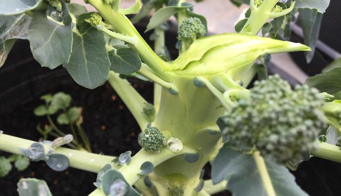 ブロッコリーを収穫するときの注意する点は切り方です。切り口が雨などで濡れ、そこから腐れてしまわないように、お日様に向かって斜めにカットします。そうすることで、切り口が早く乾き腐らずにすみます。