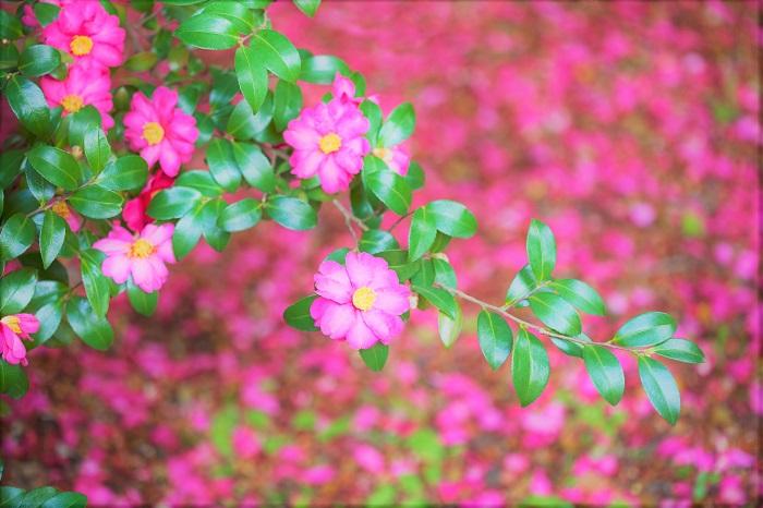 ボックスウッド 科名:ツゲ科ツゲ属  分類:常緑低木  学名:Buxus sempervirens  英名:Boxwood  和名:セイヨウツゲ  日本で馴染みのあるツゲよりも、丸みを帯びた明るいグリーンの葉が柔らかく、可愛らしい印象を与えます。強健種で剪定もしやすく育てやすい樹木なので、トピアリー仕立てでも利用されます。非常に可愛らしい樹木ですが、春に柔らかい新芽がツゲノメイガという害虫に被害に合いやすいので注意です。