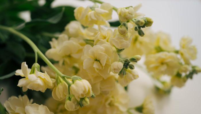 茎が太いために吸収力が強く、日持ちするお花としても知られています。色も赤、桃、白、紫、淡黄など豊富にあり、色々なアレンジが楽しめるお花です。英語圏ではストックは「gillyflower」とも呼ばれ、これはカーネーション、ナデシコなどに似た香りを持つお花を呼ぶ時の総称です。この総称が示すように、ストックもカーネーションに似た甘くスパイシーな香りがします。