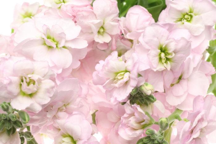 ストックは南ヨーロッパ原産のお花ですが、江戸時代に日本に渡来し、和名では「紫羅欄花(あらせいとう)」と呼ばれています。当時交流のあったポルトガルの毛織物ラシャ「羅背板(らせいた)」に葉っぱの感触が似ていることから、「葉(は)らせいた」、そこから言葉の音が変化して「あらせいとう」という名前になったそうです。
