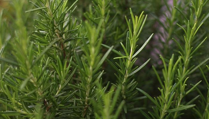 ローズマリーは地中海沿岸を原産地とする、料理などにも使うことのできる汎用性の高いハーブです。販売店も多く、あちこちで植えられて育てられているため、ハーブの中でも認知度が高いです。シソ科の常緑低木ですが、生育すると2m弱になる場合もあるそうです。日本でよく見るローズマリーの中には、立地性という空に向かって伸びていく種類と、匍匐性という地を這う・垂れ下がる種類があります。花は青~薄紫色が多いのですが、まれに白やピンクもあります。