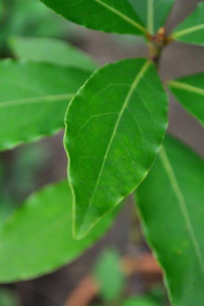 月桂樹(ローリエ)は常緑樹なので、いつでも収穫することができます。スパイスとして月桂樹(ローリエ)を使う場合は、葉っぱを一枚、一枚収穫して利用します。  ただし、4月~5月は、月桂樹(ローリエ)の枝咲きから新しい葉が出てくる季節です。若い月桂樹(ローリエ)の葉は、葉が柔らかいうちは水落ちがしやすく、乾燥させると黒くなってしまう場合があります。収穫する際は、すでに生長した葉を収穫するようにしましょう。