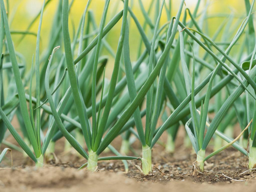 ネギ の 栽培 方法