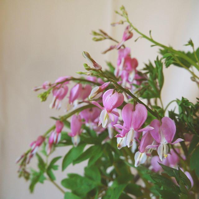 ケマンソウの花は、しなるような長い茎にたくさんのハート形のお花を吊り下げるように咲くのが印象的な植物です。